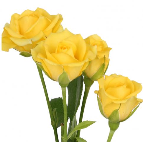 Spray roses spray roses yellow yellow babe mightylinksfo Choice Image